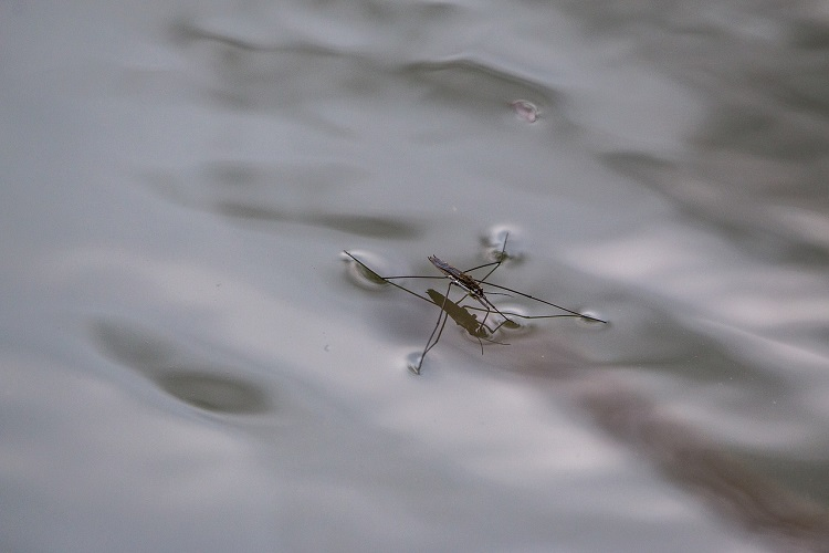 Water Strider gliding on top of clear water